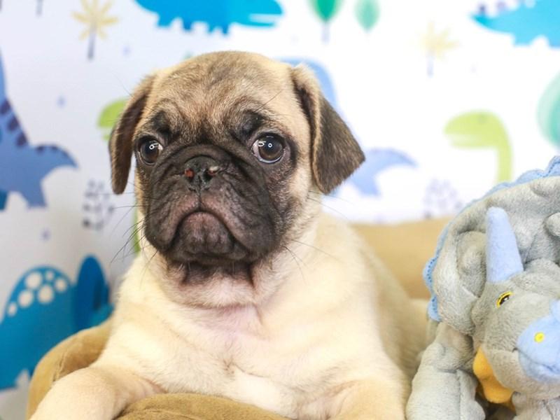 Pug-Male-FAWN-3287653-Animal Kingdom   Puppies N Love