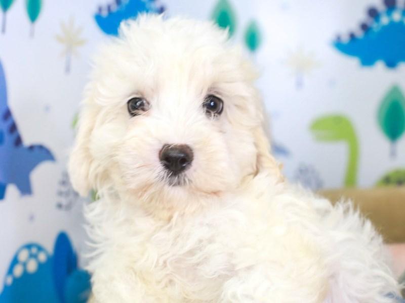 Cavachon Poo-Female-white-3287324-Animal Kingdom | Puppies N Love