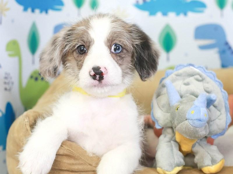 Corgi Poo-Male-bl mrl-3286879-Animal Kingdom | Puppies N Love
