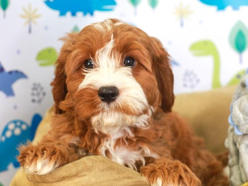 Cavapoo-Male-RED-3287478-Animal Kingdom   Puppies N Love
