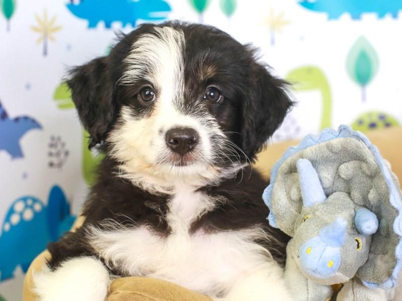 Aussie Poo-Female-blk/wh-3287508-Animal Kingdom   Puppies N Love