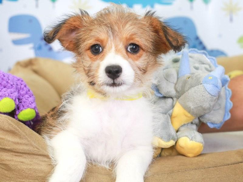 Corgi Poo-Female-brown/white-3286884-Animal Kingdom | Puppies N Love