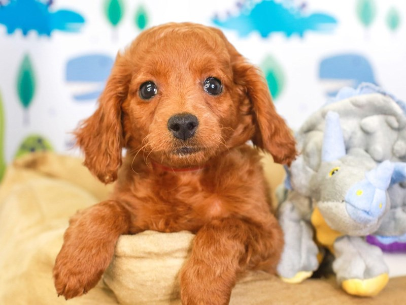 Cockapoo-Female-red-3287585-Animal Kingdom   Puppies N Love