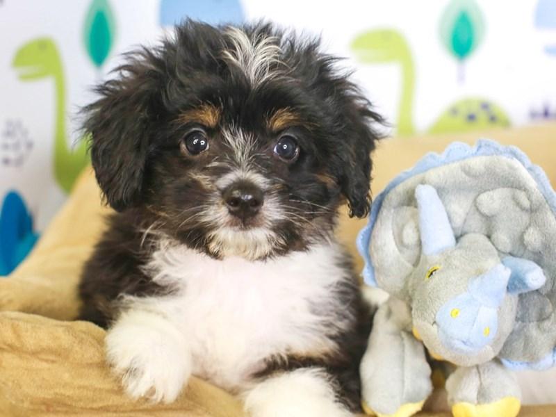 Aussie Poo-Female-tri-3287506-Animal Kingdom   Puppies N Love