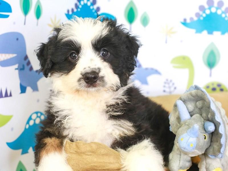 Aussie Poo-Male-blk/wh-3287504-Animal Kingdom   Puppies N Love