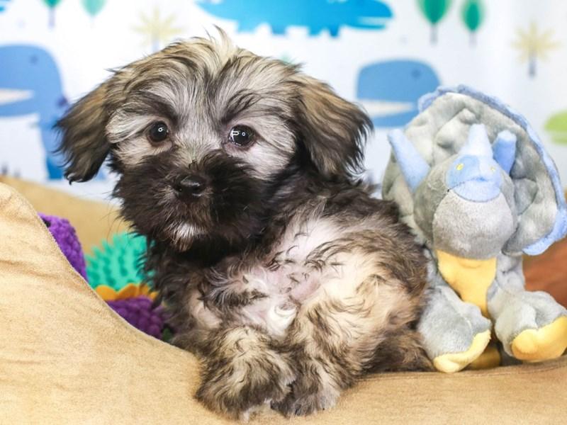Hava Apso-Male-gray sable-3286717-Animal Kingdom   Puppies N Love