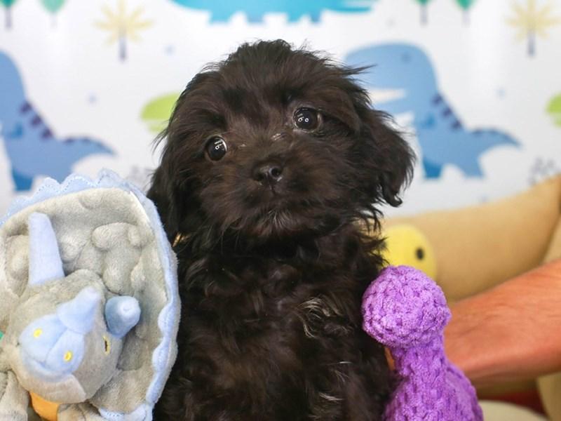 Hava Apso-Female-blk-3286720-Animal Kingdom   Puppies N Love