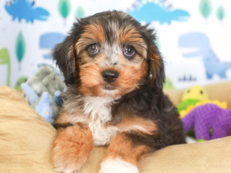 Aussie Poo-Female-bl mrl-3286805-Animal Kingdom   Puppies N Love