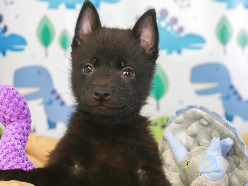 Schipperke-Male-BLACK-3286732-Animal Kingdom | Puppies N Love