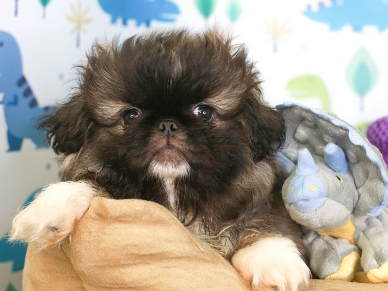 Pekingese-Male-Fawn Sable-3285808-Animal Kingdom | Puppies N Love