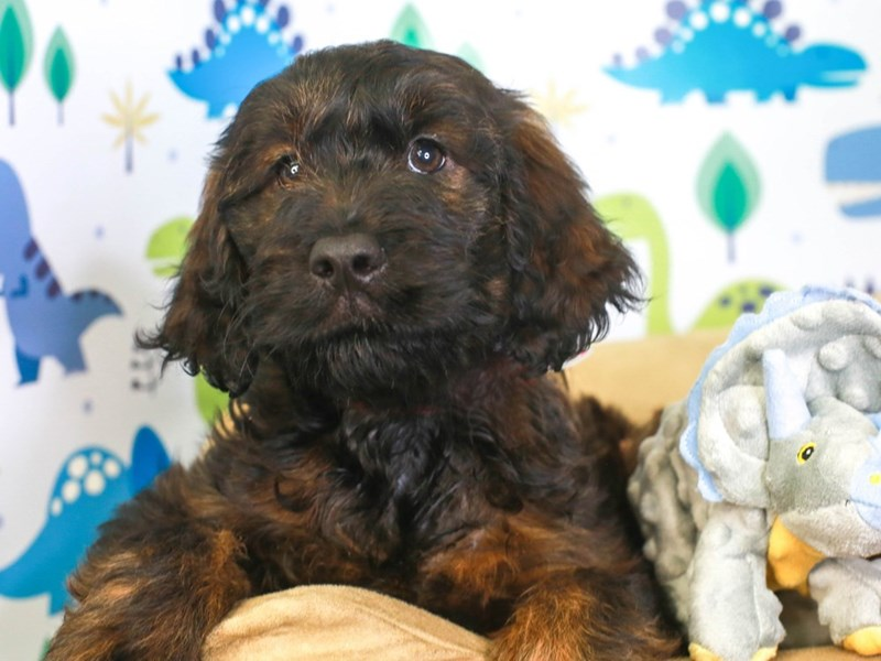 Goldendoodle-Female-BLACK-3287026-Animal Kingdom | Puppies N Love