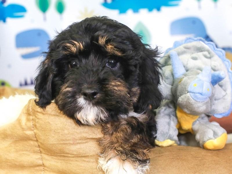 Cavapoo-Female-tri-3287350-Animal Kingdom | Puppies N Love