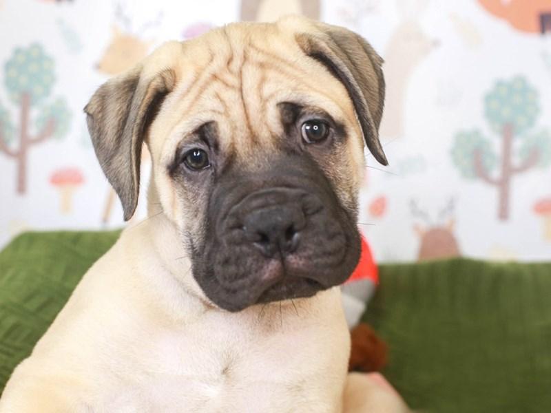 Bull Mastiff-Male-Fawn-3296116-Animal Kingdom   Puppies N Love