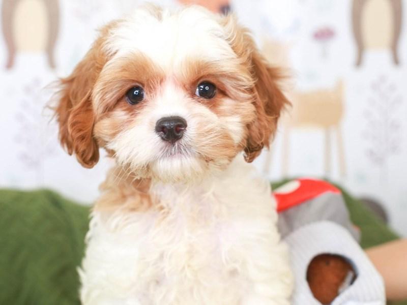 Cavapoo-Male-red & white-3296037-Animal Kingdom   Puppies N Love