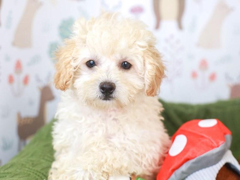 Poodle-Female-apricot-3296082-Animal Kingdom   Puppies N Love