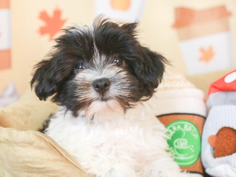 Havanese-Female-BLACK/WHITE-3305107-Animal Kingdom   Puppies N Love