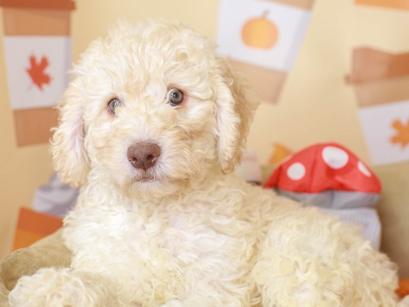Mini Labradoodle-Male-cream-3305687-Animal Kingdom   Puppies N Love
