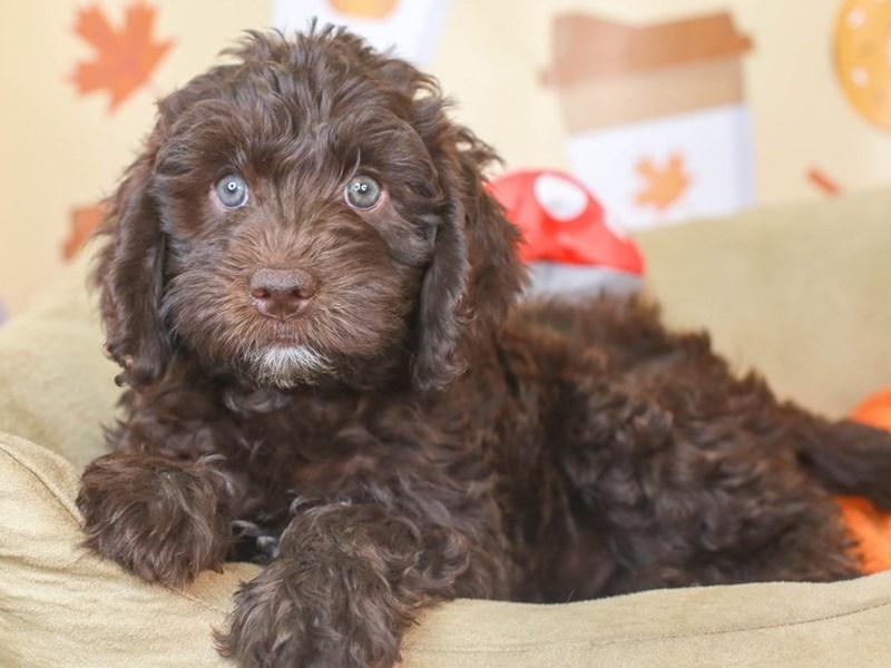 Mini Labradoodle-Female-chocolate-3305689-Animal Kingdom   Puppies N Love