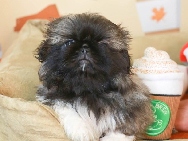 Pekingese-Female-Grey Sable-3304533-Animal Kingdom | Puppies N Love