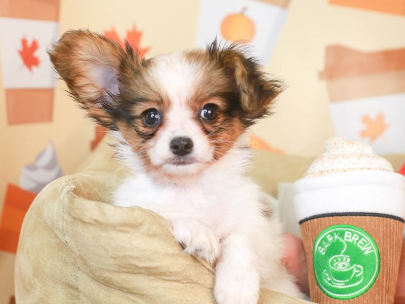 Papillon-Male-White and Sable-3304487-Animal Kingdom   Puppies N Love