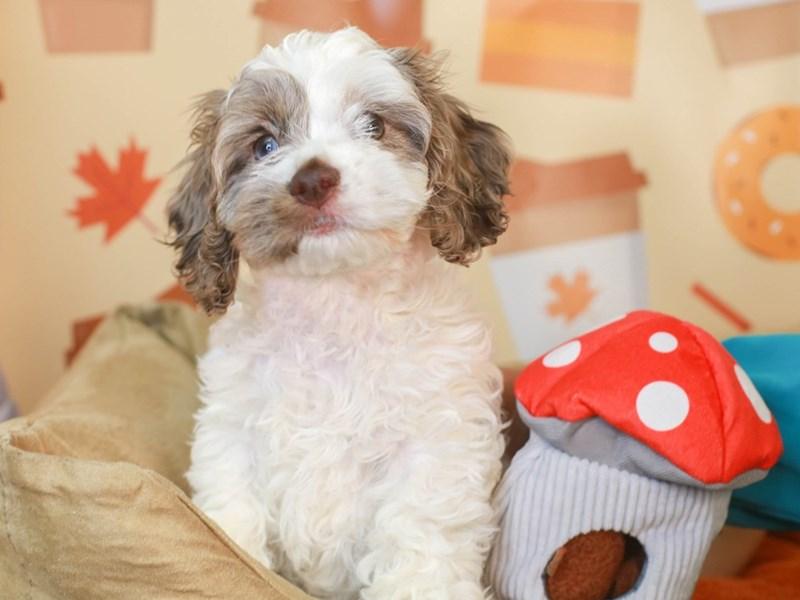 Cockapoo-Female-Brown and White-3304480-Animal Kingdom   Puppies N Love
