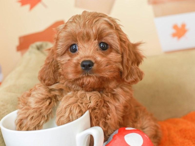 Cavapoo-Male-Red-3305661-Animal Kingdom | Puppies N Love