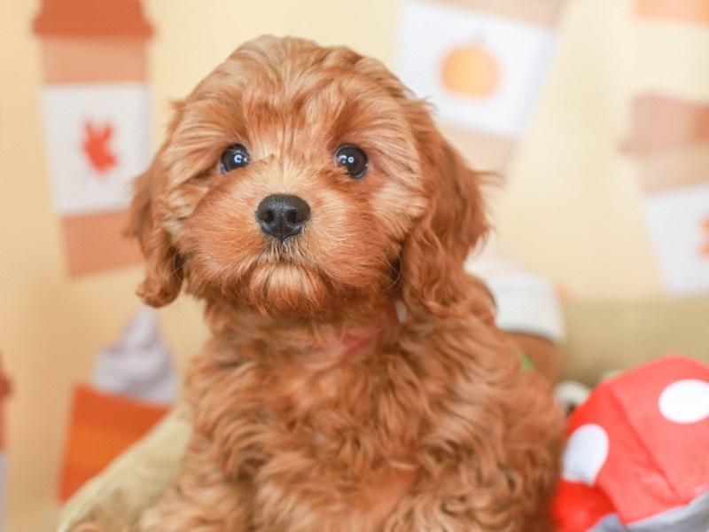 Cavapoo-Female-Red-3305663-Animal Kingdom   Puppies N Love