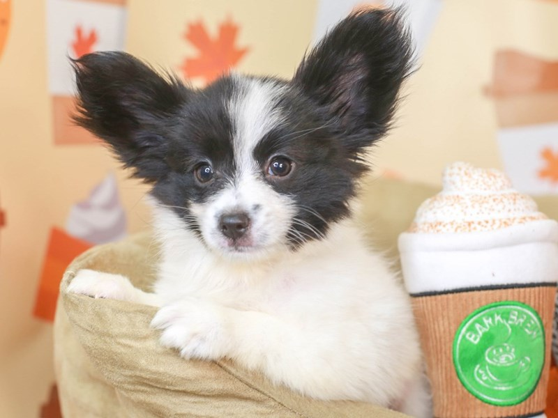 Papillon-Male-black and white-3305798-Animal Kingdom   Puppies N Love