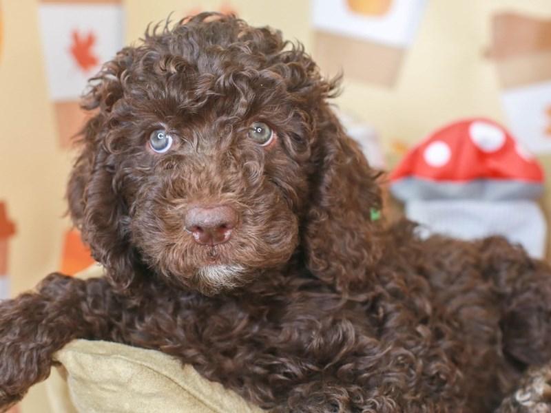 Mini Labradoodle-Female-chocolate-3305688-Animal Kingdom   Puppies N Love