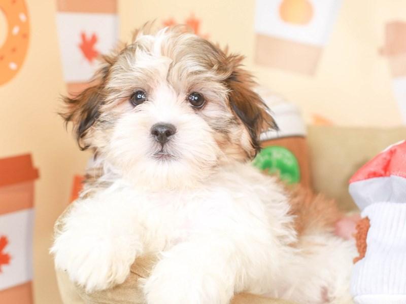 Malshi-Male-GOLD / WHITE-3305535-Animal Kingdom | Puppies N Love
