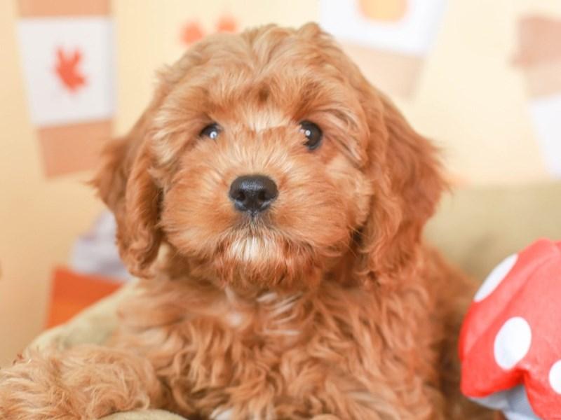 Cavapoo-Male-Red-3305662-Animal Kingdom   Puppies N Love