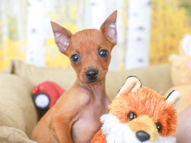 Mini Pinscher-Male-RED-3314461-Animal Kingdom | Puppies N Love