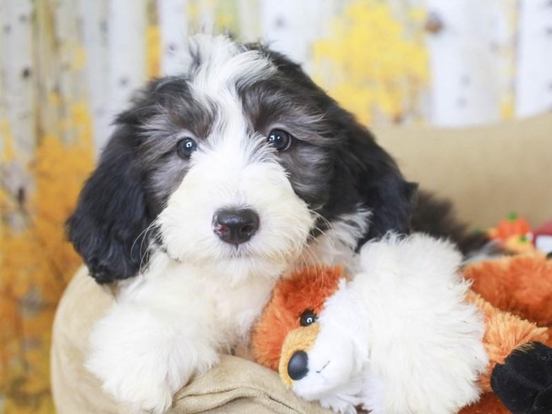 Mini Sheepadoodle-Female-BLACK & WHITE-3314912-Animal Kingdom | Puppies N Love