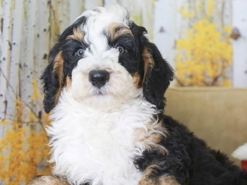 Mini Bernedoodle-Male-Tri-3314793-Animal Kingdom | Puppies N Love