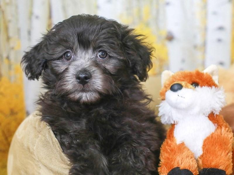 Havapoo-Male-Black-3314324-Animal Kingdom | Puppies N Love