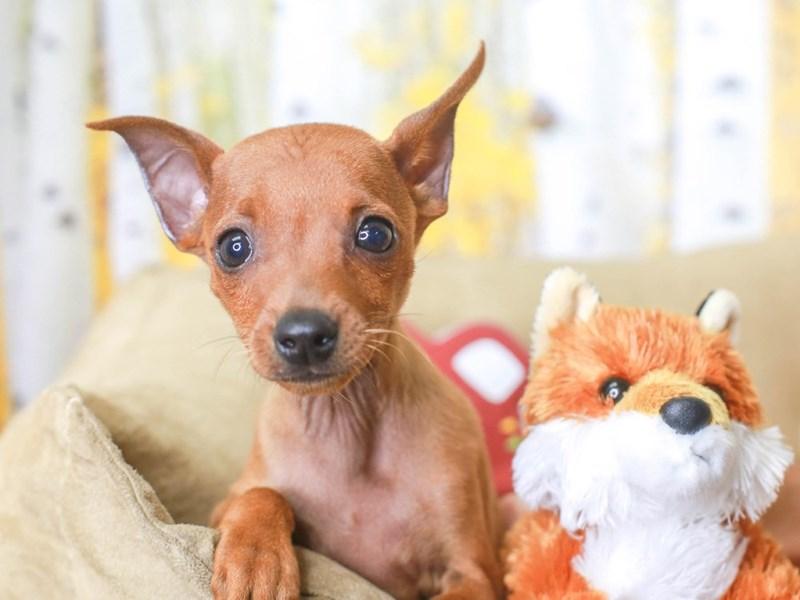 Mini Pinscher-Male-RED-3314460-Animal Kingdom | Puppies N Love