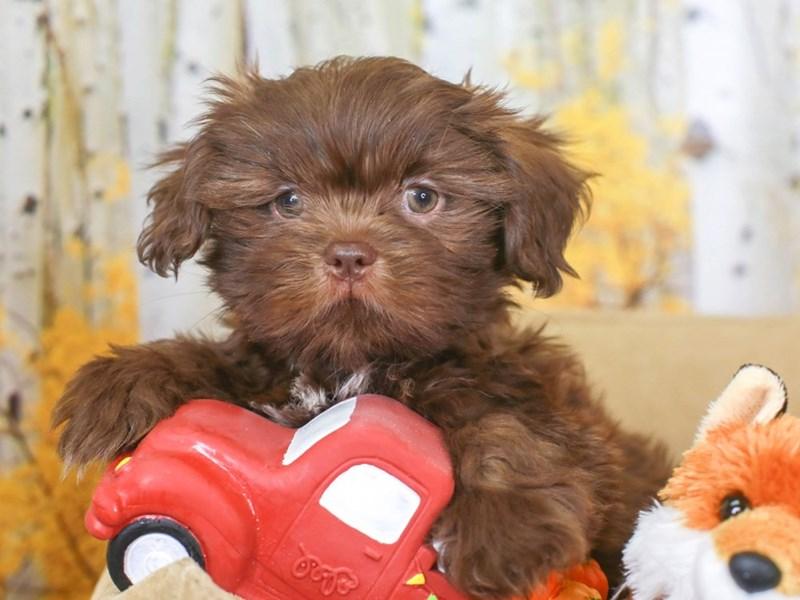 Shih Tzu-Male-Chocolate & Liver-3314581-Animal Kingdom   Puppies N Love