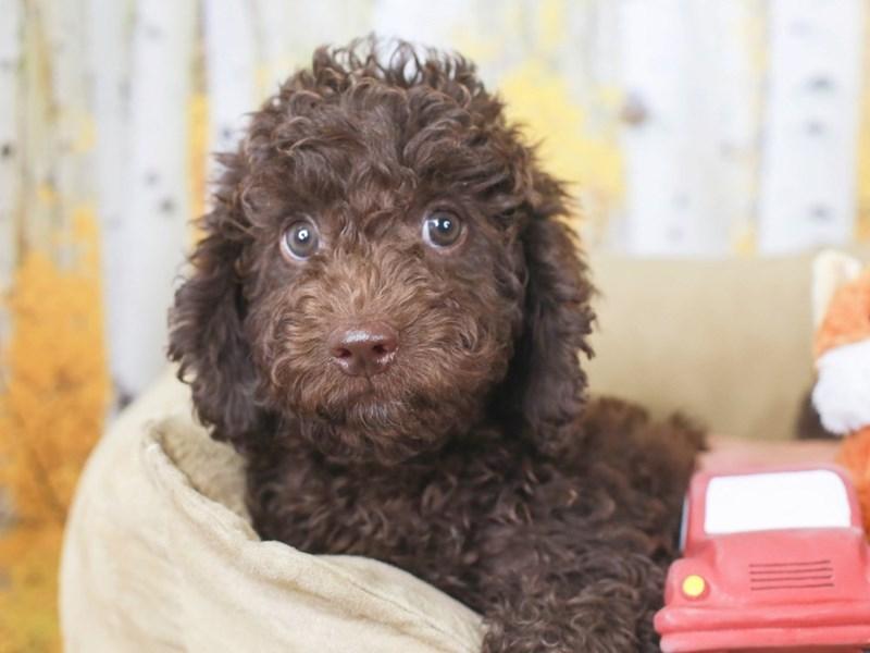 Mini Labradoodle-Female-Chocolate-3302650-Animal Kingdom   Puppies N Love