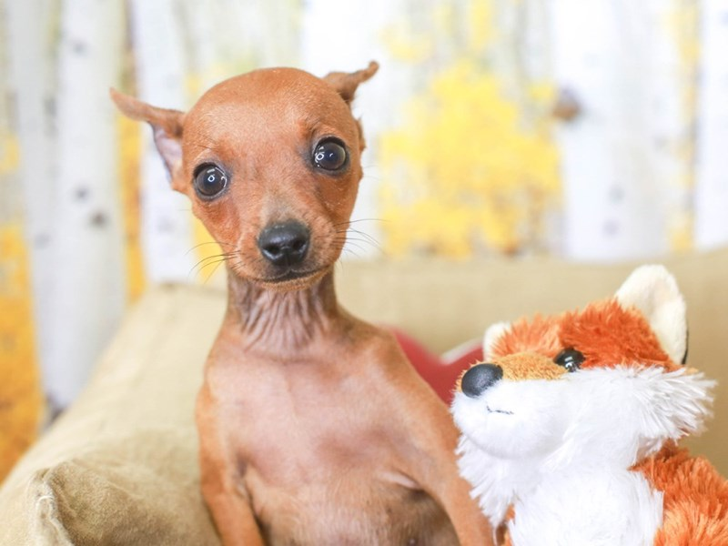 Mini Pinscher-Female-RED-3314463-Animal Kingdom | Puppies N Love