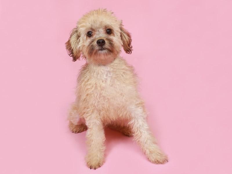 Havapoo-Male--3191919-Animal Kingdom | Puppies N Love