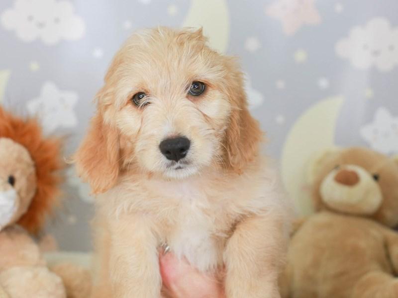 Mini Goldendoodle-Male-Gold-3323484-Animal Kingdom | Puppies N Love