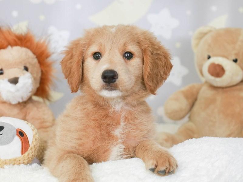Mini Goldendoodle-Female-Gold-3323486-Animal Kingdom | Puppies N Love