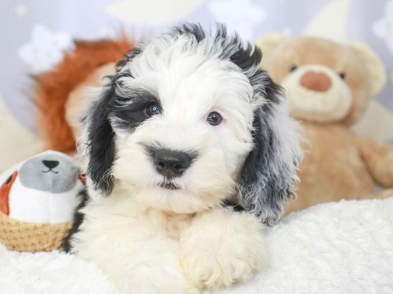 Mini Sheepadoodle-Male-BLACK-3324183-Animal Kingdom | Puppies N Love