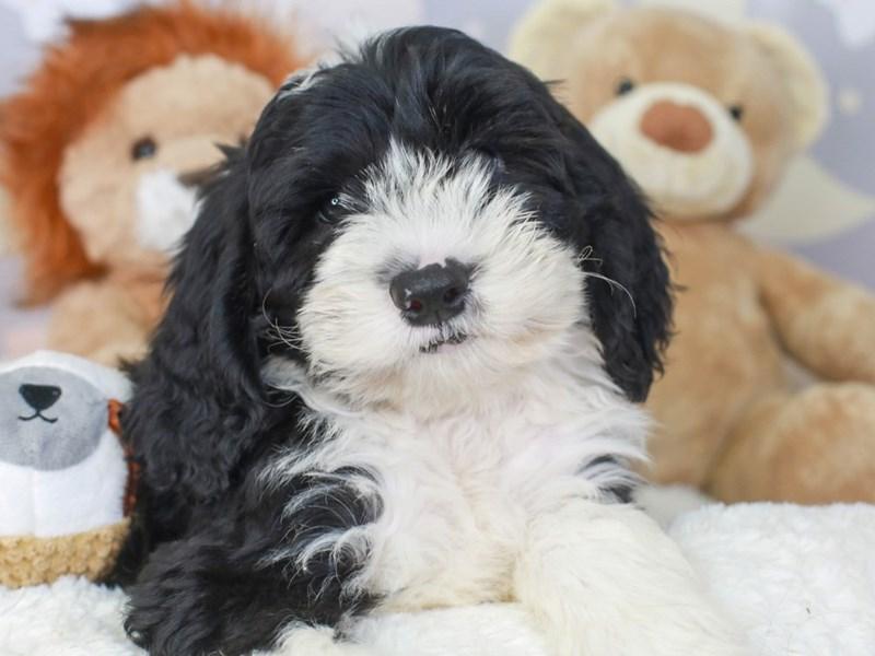 Mini Sheepadoodle-Female-BLACK-3324184-Animal Kingdom | Puppies N Love