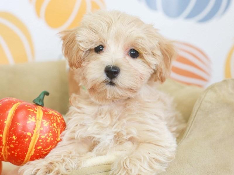 Maltipoo-Female-apct-3333082-Animal Kingdom | Puppies N Love