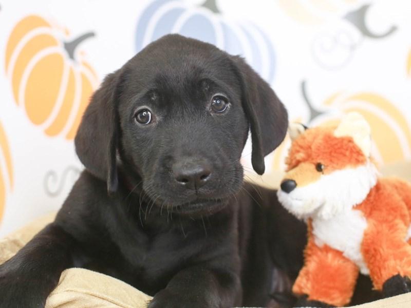 Labrador Retriever-Male-choc-3332771-Animal Kingdom | Puppies N Love