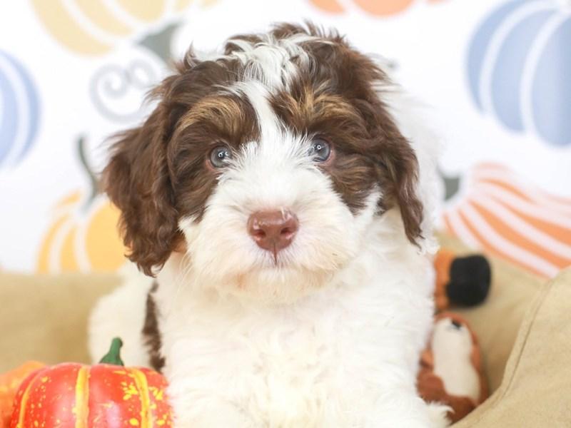 Mini Bernedoodle-Female-CHOCOLATE/WHITE-3333439-Animal Kingdom | Puppies N Love