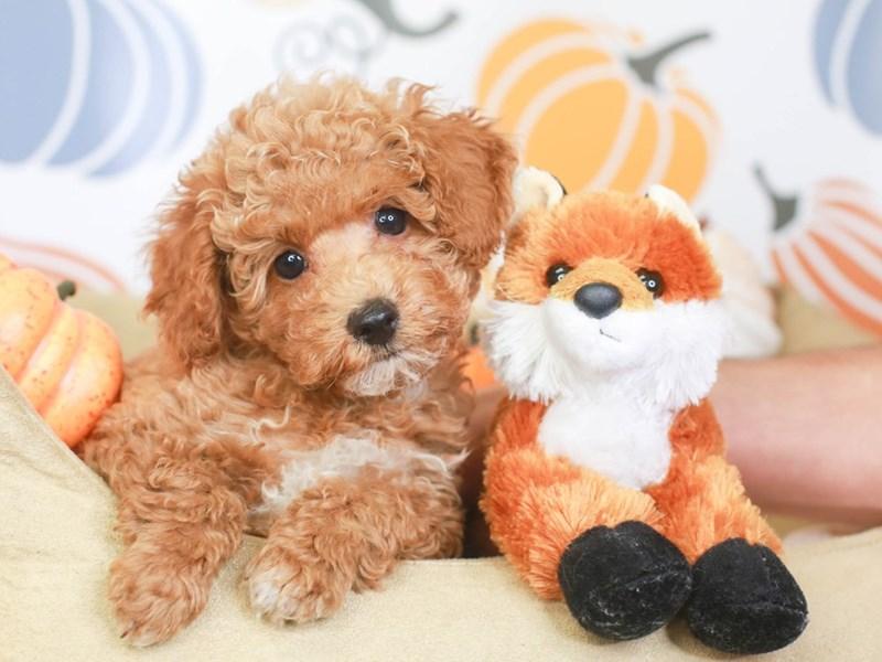 Havapoo-Male-red/wh-3332851-Animal Kingdom | Puppies N Love