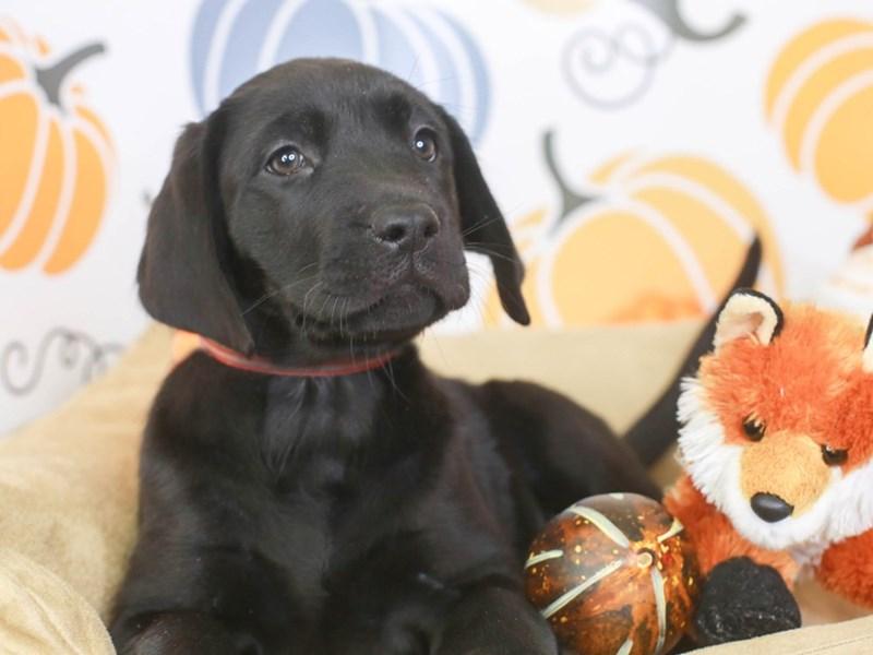 Labrador Retriever-Female-blk-3332772-Animal Kingdom | Puppies N Love