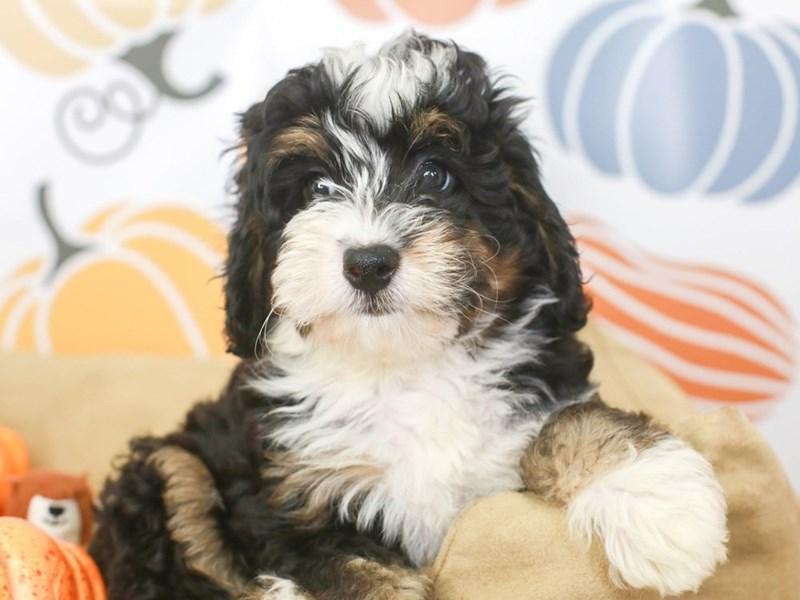 Mini Bernedoodle-Female-BLACK/WHITE-3333441-Animal Kingdom | Puppies N Love